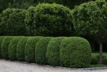 H E D G E S / Plucked and Punned Hedges- high/ tight, pleached and squared -off.  Hornbeam, Boxwood, Yew, allée / by Nick McCullough, APLD