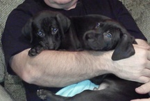 Labmaraners / Bettis and Franco joined our family at 8 weeks old on Dec 22, 2012 / by Roxie Dodson