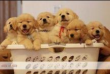 I love Goldens! / by Rebecca Williams