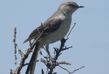 MOCKINGBIRDS / MY SECOND FAVORITE BIRDS! / by Janis Wallace
