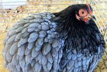 Charming Chickens / Chickens Chickens Chickens - fluffy chickens, sleek chickens, beautiful chickens, silly chickens - lots of charming chickens! / by Misha Genesis