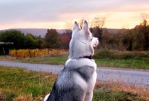 Photography: siberian husky / Photos of my dogs / by Frane Gorjanc