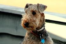 Airedales - Ours and Yours / We have four Airedales in the family...here are images of them and from other Airedale lovers!  Great dogs.  We lost Boomer in October 2013. He was unforgettable and graces the cover of this board.