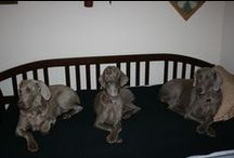 Weims, other dogs and furry critters / by Sharon Dyer