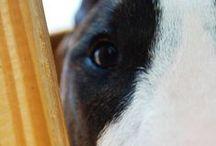 Bully Love (Bull Terrier's) / by Erin Mac