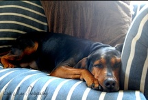 Coonie Love (Black And Tan Coonhound) / by Erin Mac