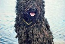 """Pulik /  Pulik -- the plural of Puli. My own FluffDog taught me the truth of the old saying, """"He's not a dog; he is a Puli"""" / by Barbara Smith"""