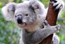 Just Koalas / by Kristina Kiser