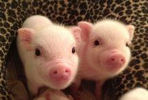 Piggies!  / My favorite animal!  / by Caitlyn MacKay
