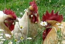 Raising Chickens / Farm life on a country road, raising chickens.  Coop plans, caring for your chicken health and well being, natural feeds, etc.  #raising #chickens / by Colleen Shimkoski