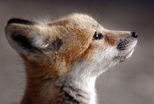 Total Fox / <3 fox
