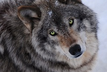 WOLVES ~ Dog's big brothers