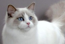 """CUTIE PATOOTIES ~ FELINES / I've been blessed to share my life with many wonderful felines. Since I am childless, due to a hysterectomy, they are my """"kids in fur coats"""". Each is unique with his/her own wonderful personality. My oldest was 15.5 years & another 15.3 years. Each passing is difficult but the many laughs & love they give overshadows the pain. If I am sad & feeling blue, my kids & those pictured here, always, always, always, bring a smile to my face. Hope you enjoy the collection of putter-tats collected here."""