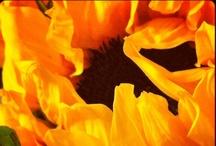 Sunflowers ~ The happy flower / by Cynthia Macri