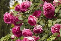 Rose Gardens / Growing roses doesn't have to be a challenge.