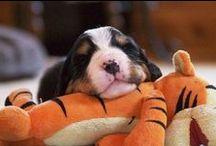 Puppies / Bernese Mountain dog puppies