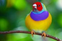 Aves que crio e gosto