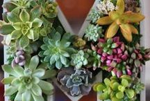 Succulents and other green things