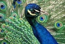 Proud as a peacock / by Denise Pilat-Curatolo