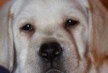 pets / Black Labrador