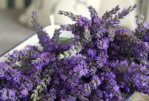 lavendel | lavender