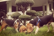 My Private Zoo / They're both Beagle. My boy is Frankie. My little girl is Milkshake. Plus their friends! / by Yani Sa