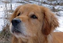 Goldens Forever / by Ruth Waterman