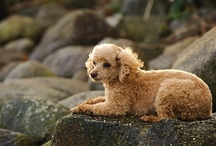 """Dogs: Poodle / """"I wonder if other dogs think poodles are members of a weird religious cult."""" ~Rita Rudner / by laramaria"""