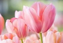 Watercolour - tulips