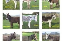 Adoption Donkeys at IFDS / Adopting a donkey is a lovely way to support the work of the Island Farm Donkey Sanctuary which provides a safe place for abused and ill-treated donkeys and helps them to go on to live peaceful, happy and useful lives. A great many of our donkey adoptions are given as gifts and it certainly makes an unusual present! Find out more @ www.donkeyrescue.co.uk/adopt-a-donkey/