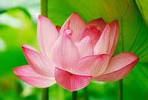 Lotus Blossoms, Water Lilies / Water Lilies, Lotus Blossoms (Group Board) - please feel free to add as many beautiful images of these serene flowers and bestow inner peace through your pinning! Enjoy.....