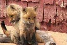 Foxy / I'm smitten by foxes and Shia Inus that look like foxes