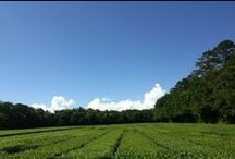 Charleston Tea Garden / by Bigelow Tea