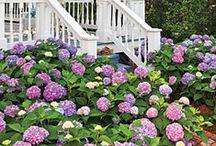 Heavenly Hydrangeas! / When I was at Cape Cod, I fell in love with the hydrangeas that were all over the Cape. I believe I have a new favorite flower! / by Donna Griffin-Canada