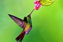 Hmmm, Hmmm, Hummingbirds / I adore hummers! / by Donna Griffin-Canada