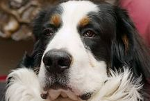 Berner Love / by Catherine Lantiegne