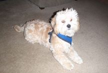 Shihpoo (Mocha, my four legged baby) / by Shelby Andrews