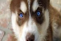 Huskies - My favorite / by Deanne Depew Suter