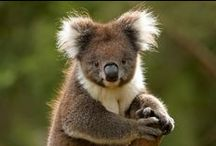 Australian Animals / Koala, Kangaroos, Wombats, Platypus, Emus, Tasmanian Devils and more lovable Australian animals! / by Zoos Victoria
