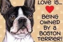 """~♥~Boston Terriers~♥~ / Truly an """"All-American"""" dog, the Boston Terrier is a lively and highly intelligent breed with an excellent disposition. Conveying an impression of determination, strength and activity, he is short-headed and compactly built, and must be black, brindle or seal with white markings. The Boston has been nicknamed """"the American Gentleman"""" because of his dapper appearance, characteristically gentle disposition and suitability as companion and house pet.  / by Ireleen"""