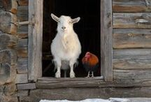 Livestock & Poultry / by FarmStayUS