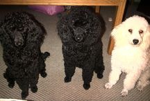 My poodles / My three mini French Poodles- Sophie, black, born 17.7.2012 Pollyanna, fading to silver or blue, born 11.9.2012 Vanilla Rose, apricot/cream, born 13.9.2012