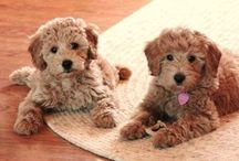 Goldendoodles ❤️❤️❤️ / I never thought I would look at any dogs but poodles. However, Goldendoodles have grown on me. They come in mini and standard sizes.