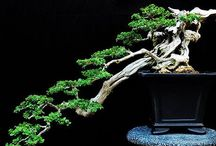 Bonsai beauty / I am fascinated by anything in miniature. The thought of huge trees growing to old age in small containers is mystifying yet wonderful.