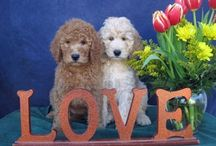 Labradoodles ❤️❤️❤️ & Aussiedoodles / When you mix a poodle with another breed you end up with something special. Labrador and poodle equals LABRADOODLES.