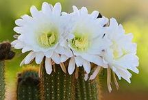 Desert - Mojave / The Mojave Desert is a desert that occupies a significant portion of southeastern CA and smaller parts of central CA, southern Nevada, southwestern Utah and northwestern Arizona in the United States. The Mojave Desert's boundaries are generally defined by the presence of Joshua trees, considered an indicator species for this desert. While most of the Mojave Desert is sparsely populated, several large cities can be found there including Lancaster, Palmdale, Victorville as well as Las Vegas in NV. / by Jacqueline Griffin