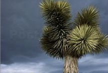 Apple Valley / I'm from the beautiful town of Apple Valley that's located in So. CA! My town is centrally located between Los Angels and Las Vegas. We're very spoiled because we have everything at our finger tips! Within an hour or 2 we can be at the beach, mountains, Disneyland etc. My town was made famous by Roy Rogers and Dale Evans. Back in the 60's my town was the cowboy's dream! Being so close to L.A., many famous folks had getaway homes near by. Even today, we are a tourist spot for the rich and famous! / by Jacqueline Griffin
