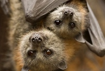 & Bats / #bats #bats #bats Let's get together all the bats lovers! Feel free to invite your friends. Want to join this board? Follow the board and leave a comment with the name of the board in which you want to be invited on this pin: http://pinterest.com/pin/16747829837001369/ / by Alex Tass