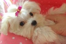 Maltese and Maltese mixes / by Sandi Fezatt Schrameyer