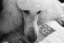 Pets - Poodles
